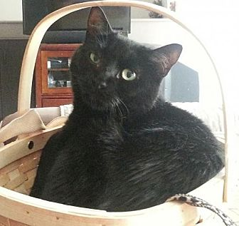 Bombay Cat for adoption in Norwalk, Connecticut - Midnight Petite CT
