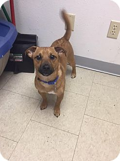 Dachshund Mix Dog for adoption in Fargo, North Dakota - Gilbert