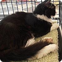 Domestic Mediumhair Cat for adoption in Horsham, Pennsylvania - Josie