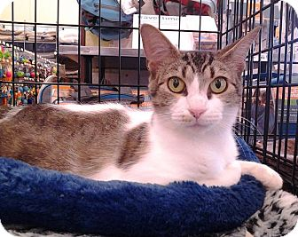 Domestic Shorthair Cat for adoption in Richmond, Virginia - Joanie