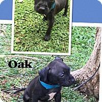 Adopt A Pet :: Oak - Scottsdale, AZ