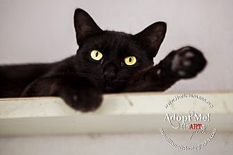Domestic Shorthair Cat for adoption in Mohawk, New York - Gambino