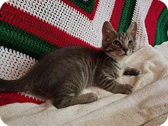 Domestic Shorthair Kitten for adoption in Bedford, Virginia - P.J.
