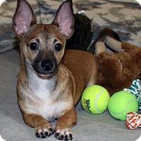 Corgi/Chihuahua Mix Puppy for adoption in Phoenix, Arizona - Sammie