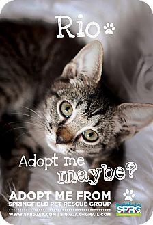 Domestic Shorthair Kitten for adoption in Jacksonville, Florida - Rio