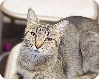 Domestic Shorthair Cat for adoption in Fountain Hills, Arizona - Genesis