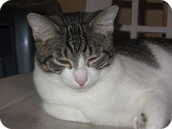 Domestic Shorthair Cat for adoption in Ridgway, Colorado - Milan