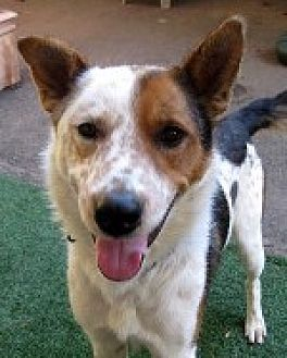 Shepherd (Unknown Type)/Australian Cattle Dog Mix Dog for adoption in Pt. Richmond, California - DODGER