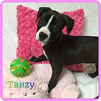 Adopt A Pet :: Tanzy - Hollywood, FL