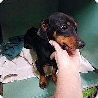 Adopt A Pet :: LUKA - Lubbock, TX