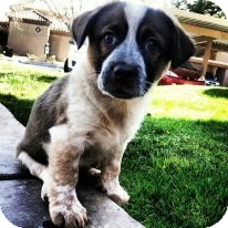 Australian Cattle Dog Mix Puppy for adoption in Scottsdale, Arizona - Russell