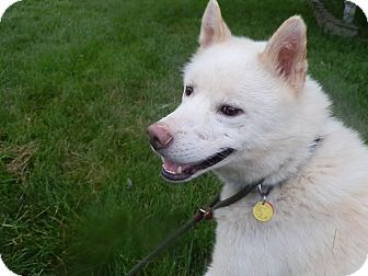 Siberian Husky Dog for adoption in Zanesville, Ohio - Yogi