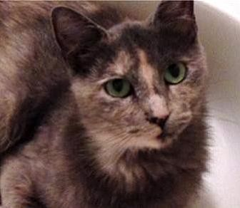 Domestic Shorthair Cat for adoption in Tustin, California - Bella