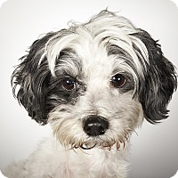 Adopt A Pet :: Wesley - New York, NY