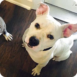 American Staffordshire Terrier/American Pit Bull Terrier Mix Dog for adoption in Houston, Texas - Gus