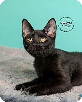 Domestic Shorthair Cat for adoption in Cincinnati, Ohio - Bosco