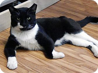 Domestic Shorthair Cat for adoption in Somerville, Massachusetts - Kramer (...is in Somerville)