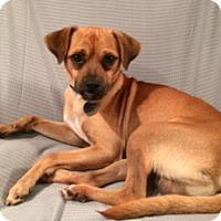 Adopt A Pet :: Baxter - Knoxville, TN