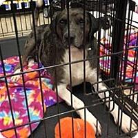 Adopt A Pet :: Max - Lexington, KY