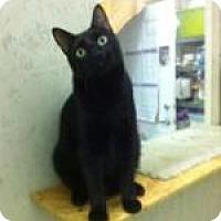Domestic Mediumhair Cat for adoption in St. James City, Florida - Simon