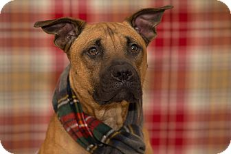 Boxer/Terrier (Unknown Type, Medium) Mix Dog for adoption in Flint, Michigan - Eric - Rescued