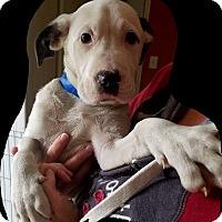 Adopt A Pet :: Chaplin - Hammonton, NJ