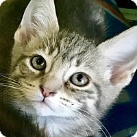 Adopt A Pet :: Tarot - Island Park, NY