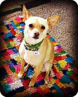 Pug/Chihuahua Mix Dog for adoption in Tijeras, New Mexico - Presley