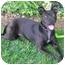 Photo 2 - Labrador Retriever/American Staffordshire Terrier Mix Dog for adoption in El Segundo, California - Sable