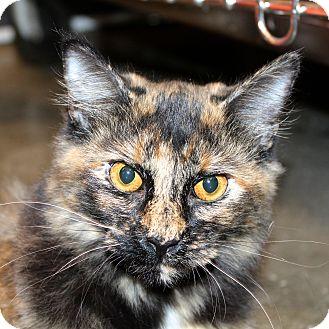 Domestic Mediumhair Cat for adoption in Greenville, South Carolina - Sassy