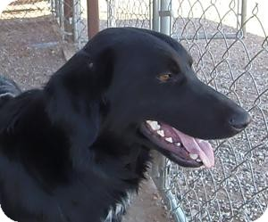 Border Collie Mix Dog for adoption in Post, Texas - Roscoe