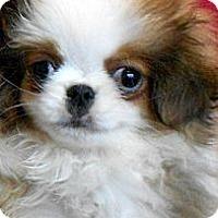 Adopt A Pet :: CHIP - ADOPTION PENDING - Little Rock, AR