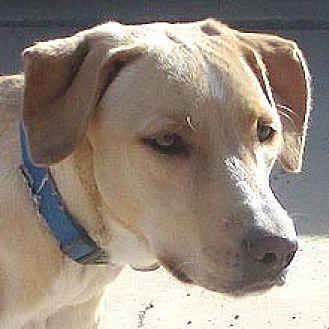 Labrador Retriever Mix Dog for adoption in Phoenix, Arizona - Marsh