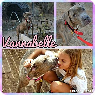 Staffordshire Bull Terrier/Boxer Mix Dog for adoption in Scottsdale, Arizona - Vanabelle