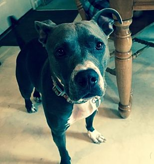 Pit Bull Terrier Mix Dog for adoption in Gilbertsville, Pennsylvania - Bunny