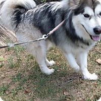 Adopt A Pet :: Regis - 18 months - Augusta County, VA