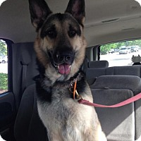 German Shepherd Dog Dog for adoption in Morrisville, North Carolina - Zenith