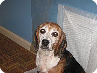 Beagle Dog for adoption in Harrisonburg, Virginia - Tilly