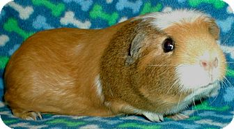 Guinea Pig for adoption in Steger, Illinois - Daisy