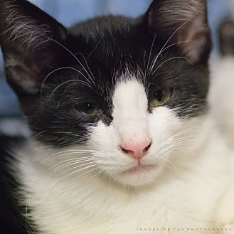 Domestic Shorthair Cat for adoption in Houston, Texas - ROOK