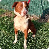 Adopt A Pet :: Hank - Beaumont, TX