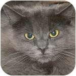 Domestic Longhair Cat for adoption in Ottawa, Ontario - Smoke