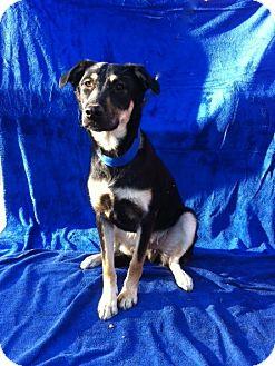 Husky/German Shepherd Dog Mix Dog for adoption in Baton Rouge, Louisiana - Toby