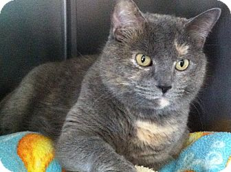 Domestic Shorthair Cat for adoption in Topeka, Kansas - Chica