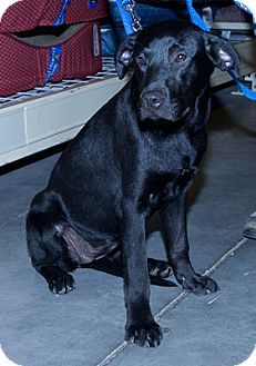 Labrador Retriever Mix Puppy for adoption in Loudonville, New York - Daffy
