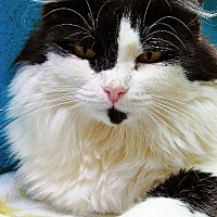Domestic Longhair Cat for adoption in Tucson, Arizona - Polly Ann