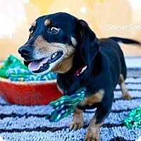 Adopt A Pet :: Shiner Snow - Shawnee Mission, KS