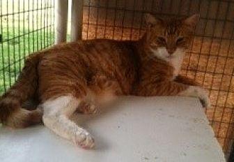 Domestic Mediumhair Cat for adoption in Visalia, California - Argo