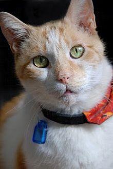 Domestic Shorthair Cat for adoption in Seal Beach, California - Tabasco