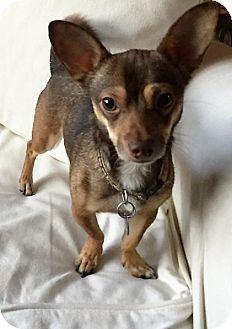 Chihuahua Dog for adoption in Columbia, South Carolina - Thor